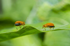Orange beetle on green leaf Stock Photo