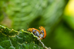 Orange beetle on green leaf Stock Images