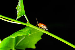 Orange beetle on green leaf Royalty Free Stock Images