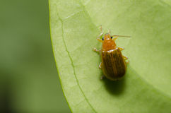 Orange beetle on green leaf macro Stock Photos