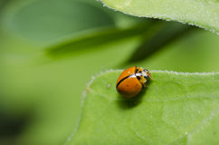 Orange beetle on green leaf macro Royalty Free Stock Photos