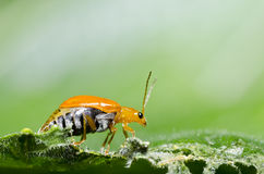 Orange beetle on green leaf macro Royalty Free Stock Image