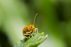 Orange beetle on green leaf macro Royalty Free Stock Photography