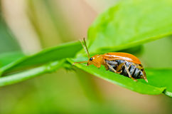 Orange beetle in green nature Royalty Free Stock Photography