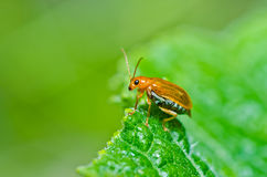 Orange beetle in green nature or in the garden Royalty Free Stock Photo