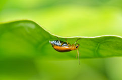 Orange beetle in green nature or in the garden Royalty Free Stock Photos