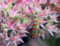 Orange beetle insect on pink white flower Royalty Free Stock Image