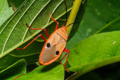 Orange beetle Stock Images