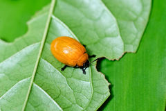 Orange beetle Royalty Free Stock Images