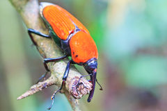 Orange beetle Stock Image