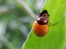 Orange beetle under green leaf Royalty Free Stock Images