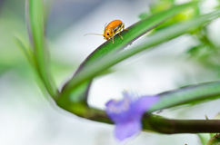 Orange beetle and violet flower in green nature Royalty Free Stock Photography