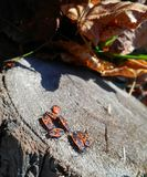 Orange beetles insects Royalty Free Stock Image