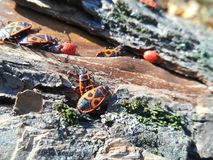 Orange beetles insects Royalty Free Stock Photos