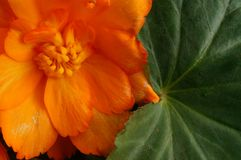 Orange begonia Royaltyfri Fotografi