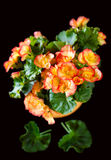 Orange begonia Royaltyfri Foto
