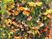 Orange begonia Royalty Free Stock Photos