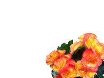 Orange Begonia Corner Stock Photos