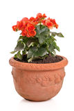 Orange begonia in a flower pot Stock Photography