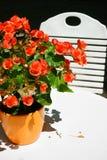 Orange Begonias in orange flower pot Royalty Free Stock Images