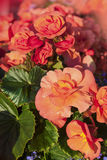 Orange Begonias Royalty Free Stock Image