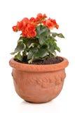 Orange Begonie in einem Blumenpotentiometer Stockfotografie