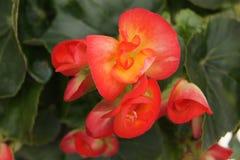 Orange begonior Arkivfoto