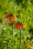 Orange bell flower Royalty Free Stock Images