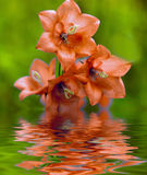 Orange bell-flowers. Reflected in the water Stock Photography