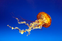 Orange bell jellyfish Stock Image