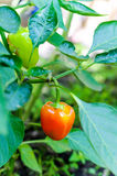 Orange bell peppers on plant. Orange organic natural peppers on plant Stock Photos