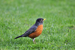 Orange-bellied black bird on the lawn royalty free stock images