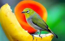 Orange bellied leafbird. An orange-bellied leafbird (chloropsis hardwickii) perched on a tree branch, eating banana. location : edward youde aviary of hong kong Stock Photo