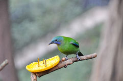 Orange-bellied Leafbird eating orange Stock Image