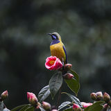 Orange-bellied Leafbird Royalty Free Stock Image