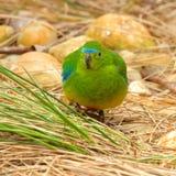 Orange-Bellied Parrot Neophema Chrysogaster Stock Images