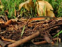 Orange belly lizard. A garden lizard (Eutropis multifasciata) exploring its surrounding after a rainy morning Royalty Free Stock Photos