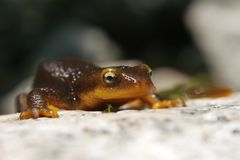 Orange belly newt. Crawling over a rock in a creek Stock Photography