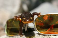Orange belly newt. Crawling over sunglasses Royalty Free Stock Photos