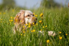 Orange Belton English Setter hiding in high grass with yellow flowers stock photos