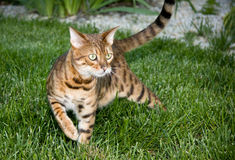 Orange Bengal cat in tense pose. Bengal cat in grass ready to pounce on prey royalty free stock photo