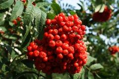 Orange berries. Orange fruit hanging on a tree branch Royalty Free Stock Images
