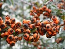 Orange berries Royalty Free Stock Photography