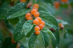 Orange berries. Close up of orange wet berries and drops on leaves stock photo