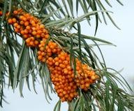 Orange Berries. Stock Photo