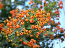 Orange berries of a decorative shrub Pyracantha coccinea on blured background. Close-up stock photo