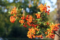 Orange berries of an european firethorn. Close up to a branch of an european firethorn with bright orange fruits Stock Images