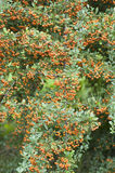 Orange berries of ornamental bush Royalty Free Stock Photography