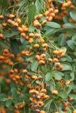Orange berries of ornamental bush Royalty Free Stock Photos