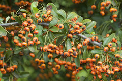 Orange berries of ornamental bush Stock Photo